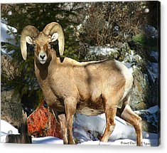 Bighorn Ram Acrylic Print by Perspective Imagery