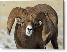 Bighorn Ram In Montana Acrylic Print