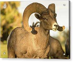 Bighorn Ram Acrylic Print by Scott Warner