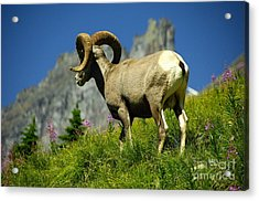 Bighorn Sheep Acrylic Print by Marc Bittan