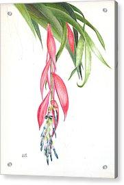 Billbergia 'windii' Acrylic Print