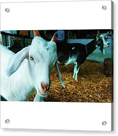 #billygoat #farm #sussex #animals Acrylic Print by Natalie Anne