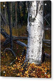 Birch Autumn 3 Acrylic Print by Ron Day