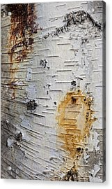 Birch Bark 2 Acrylic Print