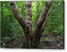 Birch Bark Tree Trunks Acrylic Print