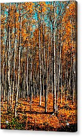 Birch Acrylic Print by Brigid Nelson
