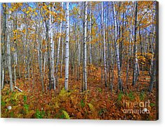 Birch Forest Autumn  Acrylic Print by Catherine Reusch Daley