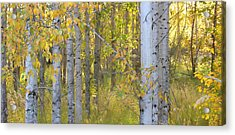 Birch Forest Acrylic Print by Bonnie Bruno
