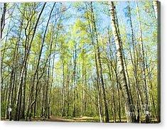 Birch Forest Spring Acrylic Print