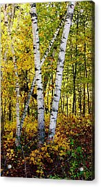 Birch In Gold Acrylic Print