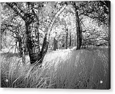 Birch In The Tall Grass Acrylic Print