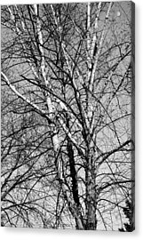 Birch Acrylic Print by Jame Hayes