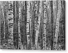 Birch Stand Acrylic Print