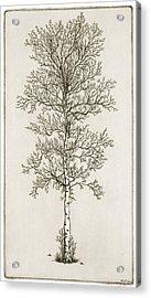Birch Tree Acrylic Print by Charles Harden