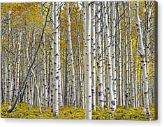 Birch Tree Grove With A Touch Of Yellow Color Acrylic Print