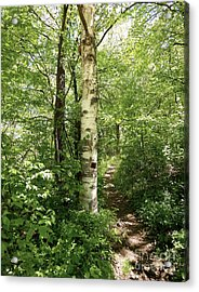 Birch Tree Hiking Trail Acrylic Print by Phil Perkins