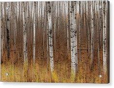 Birch Trees Abstract #2 Acrylic Print