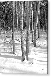 Birch Trees Acrylic Print by Douglas Pike