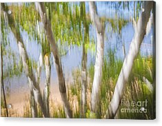 Birch Trees On Lake Shore Acrylic Print by Elena Elisseeva