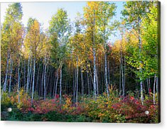 Birch Trees Turn To Gold Acrylic Print