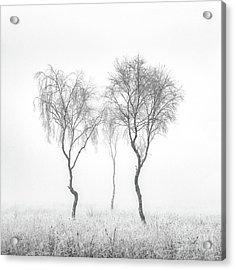 Birch Trio Acrylic Print