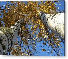 Birch Twins Acrylic Print by Jessica Yudis