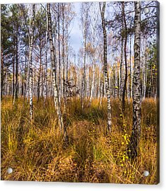 Birches And Grass Acrylic Print
