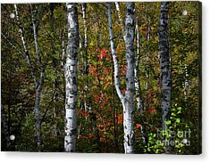 Acrylic Print featuring the photograph Birches by Elena Elisseeva
