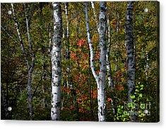 Birches Acrylic Print by Elena Elisseeva