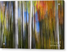 Birches In Autumn Forest Acrylic Print by Elena Elisseeva