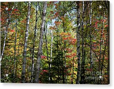 Acrylic Print featuring the photograph Birches In Fall Forest by Elena Elisseeva