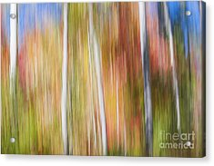 Birches In Sunny Fall Forest Acrylic Print by Elena Elisseeva