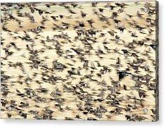Bird Blizzard Acrylic Print