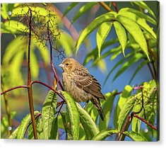 Bird Bush Blue Sky Acrylic Print