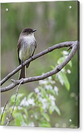 Bird - Eastern Phoebe Acrylic Print by Ron Grafe