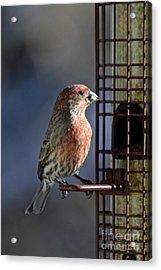 Bird Feeding In The Afternoon Sun Acrylic Print