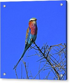 Bird - Lilac-breasted Roller Acrylic Print