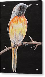 Bird Minivet Acrylic Print by Rajesh Chopra