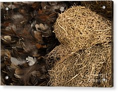 Bird Nest And Feathers Acrylic Print