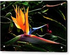 Bird Of Paradise Flower Acrylic Print by Brian Harig