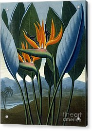 Bird Of Paradise Flower  The Queen Acrylic Print by Peter Charles Henderson