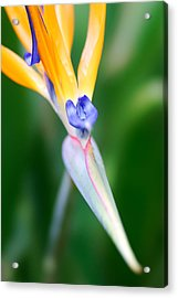 Acrylic Print featuring the photograph Bird Of Paradise by Francesco Emanuele Carucci
