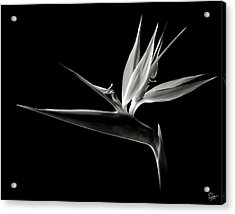 Bird Of Paradise In Black And White Acrylic Print by Endre Balogh