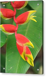 Bird Of Paradise Acrylic Print by Jessica Rose