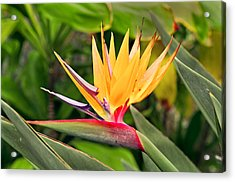 Bird Of Paradise Photo Acrylic Print by Peter J Sucy
