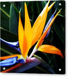 Bird Of Paradise Acrylic Print by Rose  Hill
