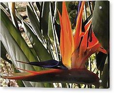 Bird Of Paradise Strelitzia Acrylic Print by Tracey Harrington-Simpson