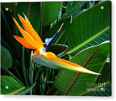 Acrylic Print featuring the photograph Bird Of Paradise by Sue Melvin