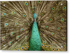Acrylic Print featuring the photograph Peacock by Werner Padarin