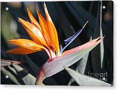 Acrylic Print featuring the photograph Bird Of Paradise by Wilko Van de Kamp